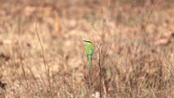 Green bee-eater, Barnawapara