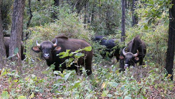 Its easy to see herds of gaur, or Indian Bison in Barnawapara