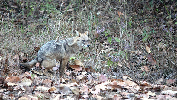 Jackal defecates in Kanha