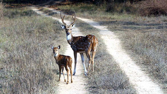 Kanha has a very good population of cheetal or spotted deer