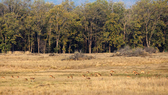 Kanha's meadows are full of cheetal