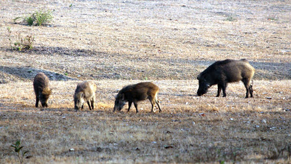 We sighted many wild boars in Kanha