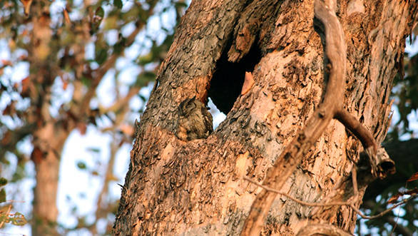 Well camouflaged Indian Scops-Owl in Kanha