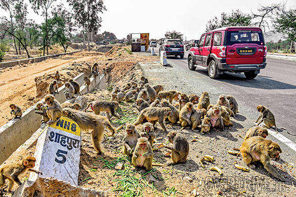 It's lunch time on NH8 for these simians