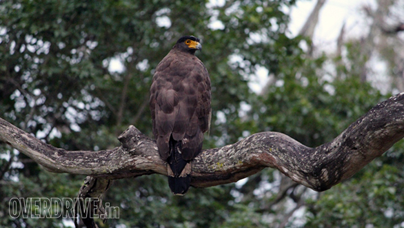 A massive serpent eagle
