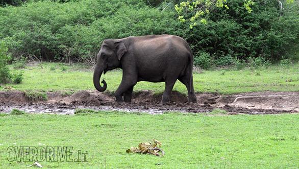 Elephant at a salt lick
