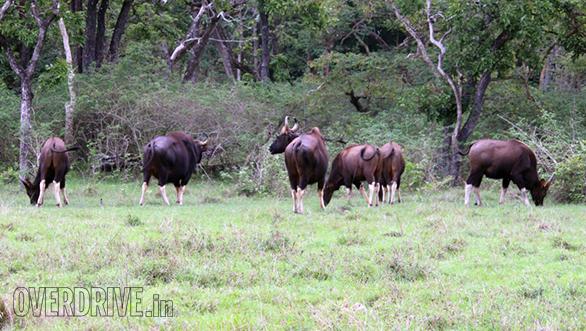 Herd of gaur (Bison)