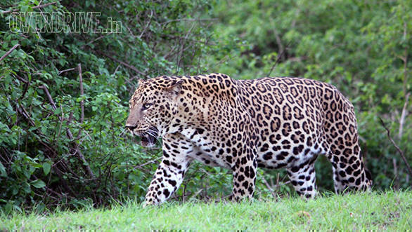 The full grown male leopard we were lucky to sight