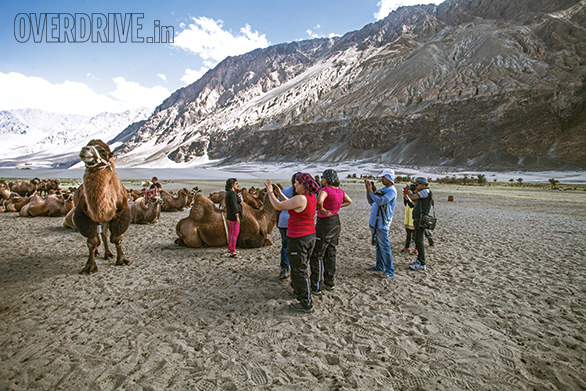 Bactrian Camels are a left over of the important of the Nubra Valley as a waypoint on the ancient trade routes. The story goes that traders left them behind and they're still here. They might have twice as many humps as normal camels but their ill-temper is just as obvious as with normal camels
