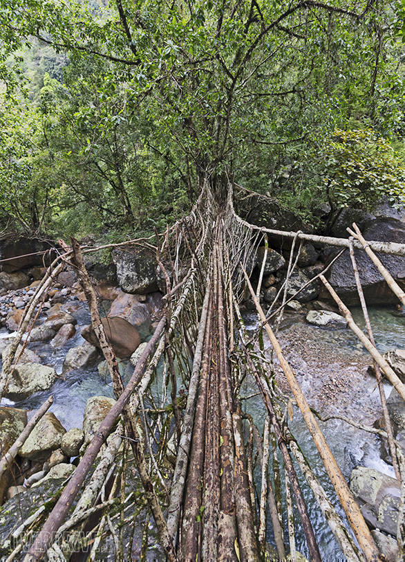 This is the longest Living Root Bridge in this region. The process of forming the bridges begins by planting the Indian Rubber Tree at both ends of the stream. The trees then grow for 100 years after which they sprout aerial roots. The villagers then tie a metal string and the bark of the beetle nut tree to help guide the roots the other end. These roots grow for about 30-35 years and its only then that the bridge is strong enough to walk on. This particular bridge here is over 175 years old.