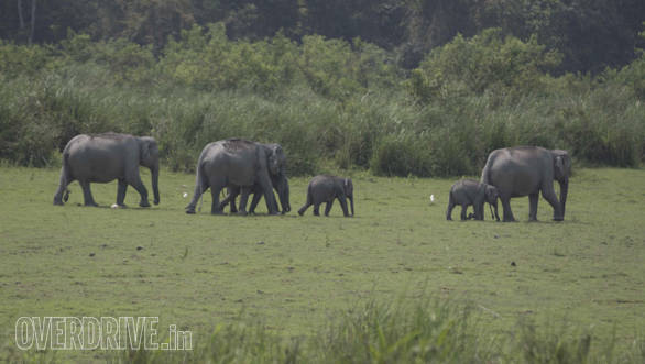 Mumma Elephants, seen here, took the babies out to the pond in the Kaziranga National Park. Listening to the calls of Elephants, in the wild, is truly amazing. No zoo can beat the experience of watching animals in the wild. Untamed and free