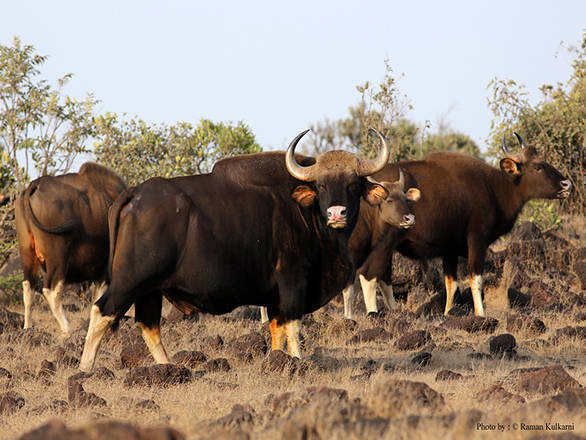 Gaur or Indian bison in Radhanagari Wildlife Sanctuary