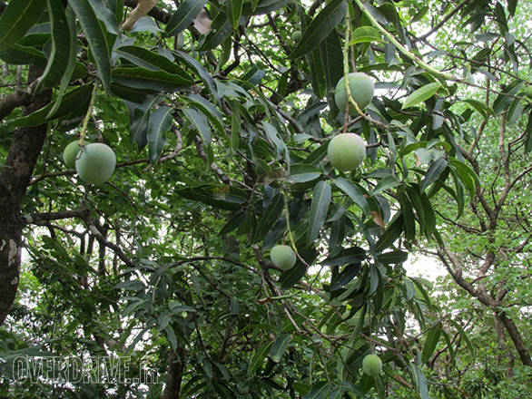 And also came across wild mangoes growing in many places
