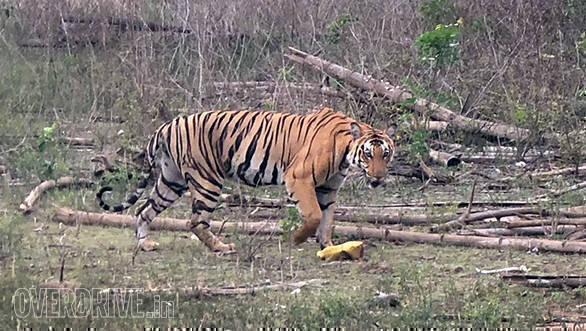 BMW Motorrad Deccan Safari | Tusker BMW Motorrad | Nagarhole National Park Tiger ambient