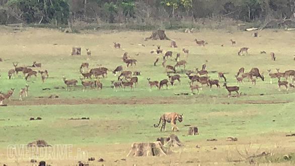 BMW Motorrad Deccan Safari | Tusker BMW Motorrad | Nagarhole National Park | Tiger ambient
