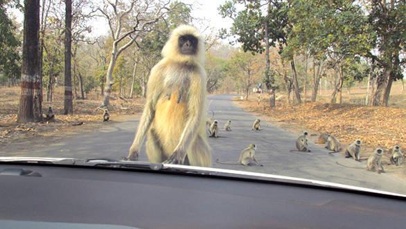 Langur monkey's blocking our path