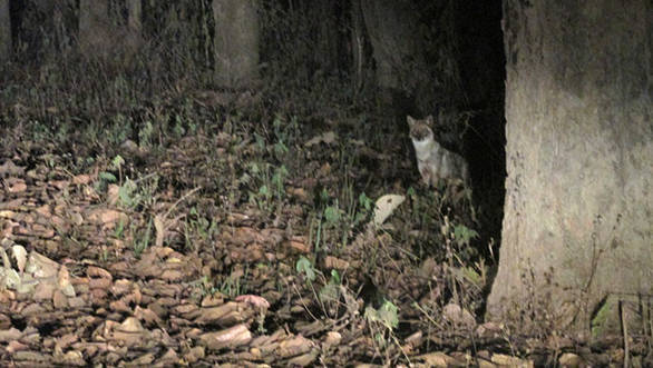 Sighted a jackal while driving at night