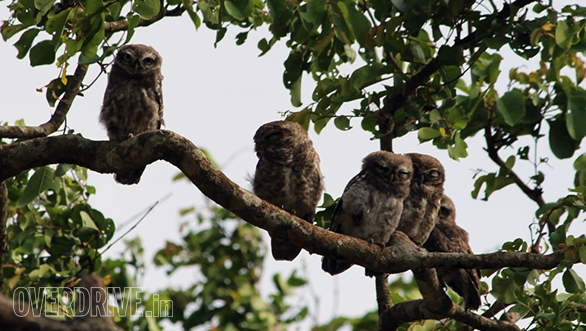 Family of 5 spotted owlets