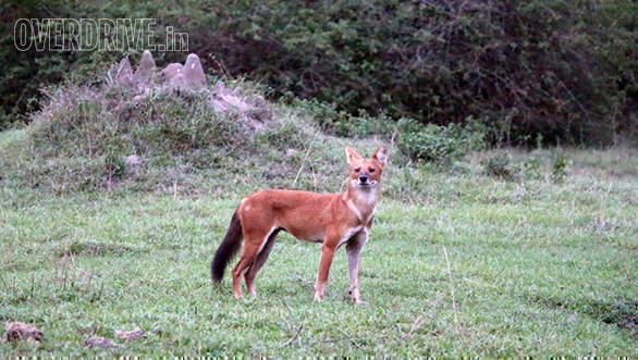 Wild dog or dhole, one of the most feared predators