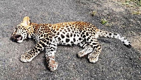 Death on Diwali – pregnant leopard mowed down in Mumbai